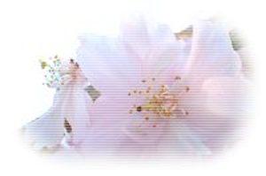 Sakura53_2