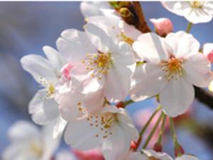 Sakura3200_2